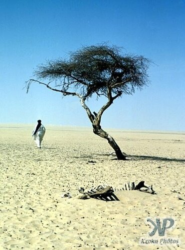 Самое одинокое дерево на планете - дерево Тенере (акация). В радиусе 250 миль нет больше ни одного дерева. Пустыня Сахара, Африка. Дерево было сломано пьяным ливийцем на грузовике.