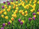 Цветут тюльпаны Краснодара