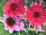 Echinacea Secret Passion и Echinacea Secret Romance.JPG