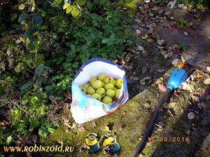 последние яблоки