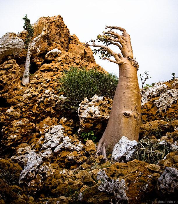 Socotra, Ayaft, бутылочное дерево