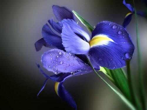 Ирис — цветок богини радуги
