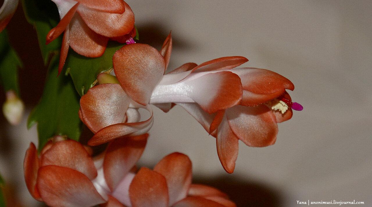 Цветут шлюмбергеры