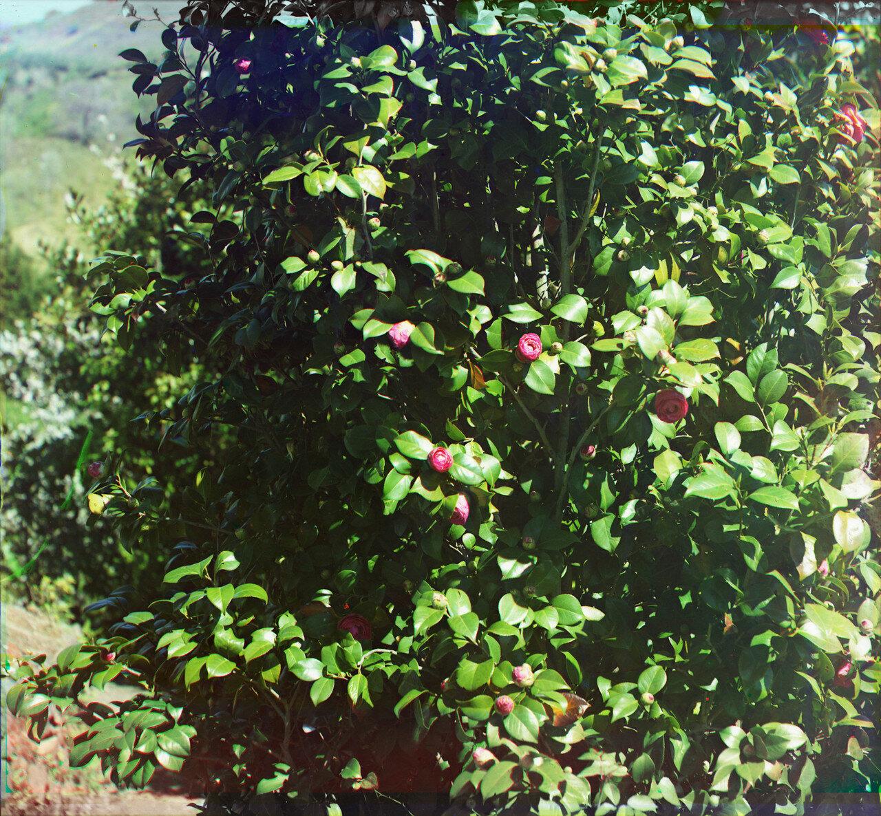 Окрестности Батума. Зеленый мыс. В саду Баратова