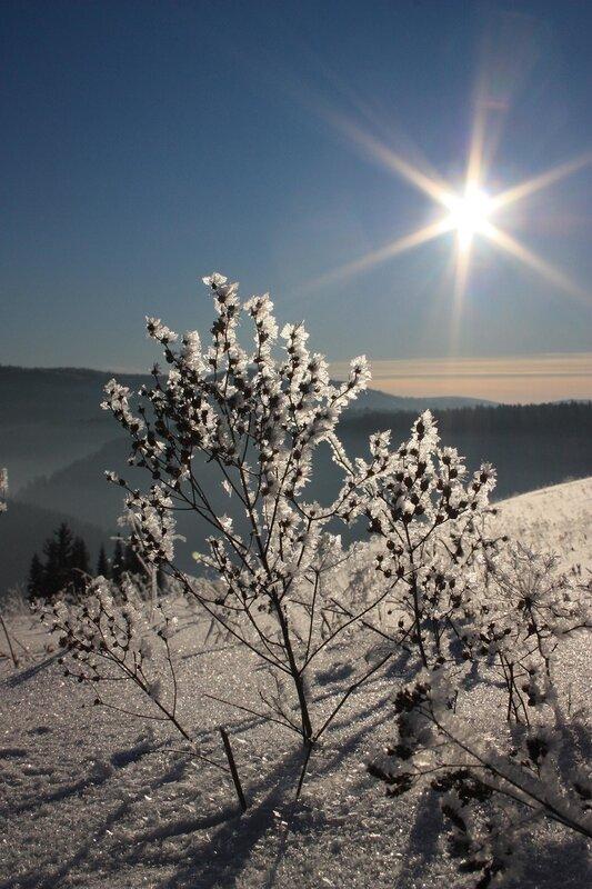 зимняя душица