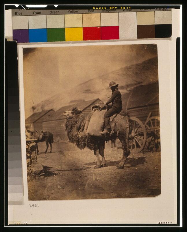 Верблюд в лагере