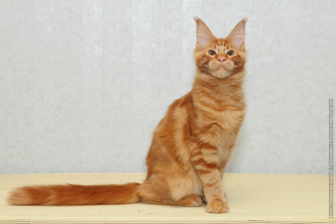 рыжий мейн кун котенок