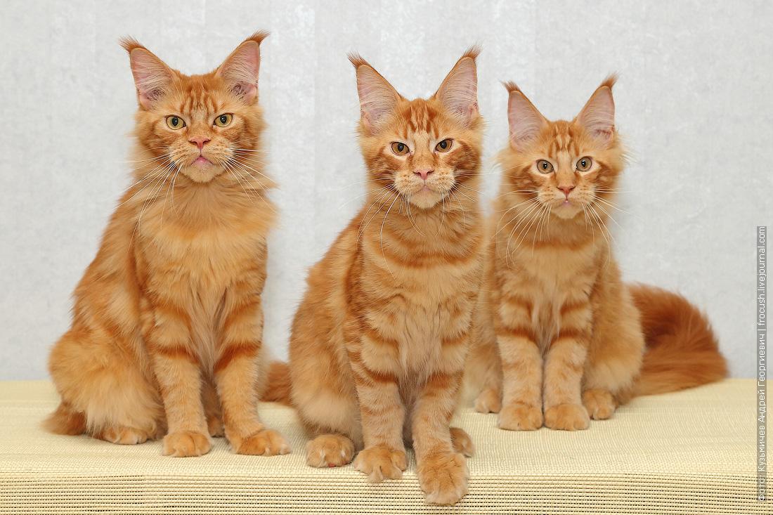 рыжие котята мейн кун