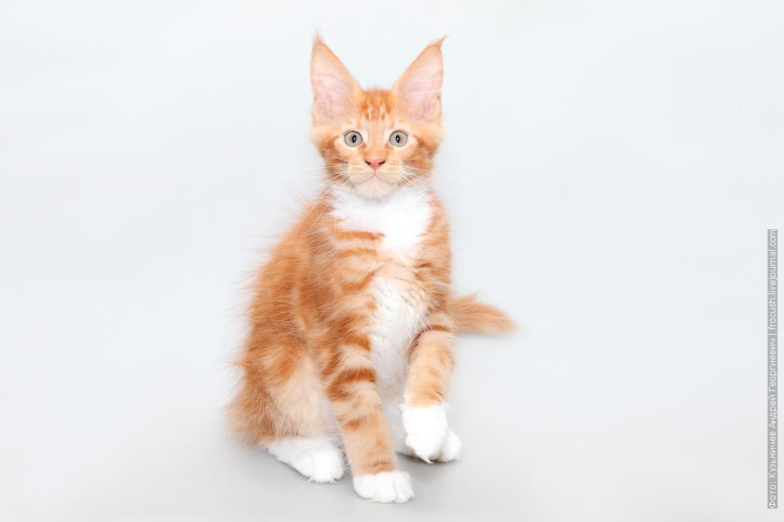 котенок мейн кун фото