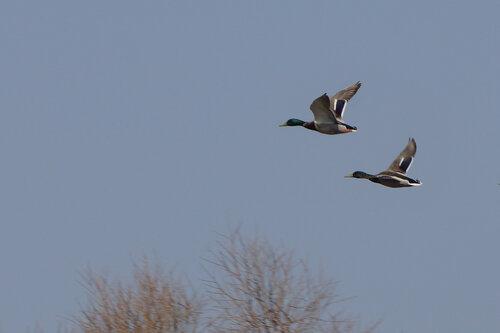 Селезень и утка. Утки уже давно держатся парами. Сейчас они очень осторожны. Автор фото: Привалова Марина