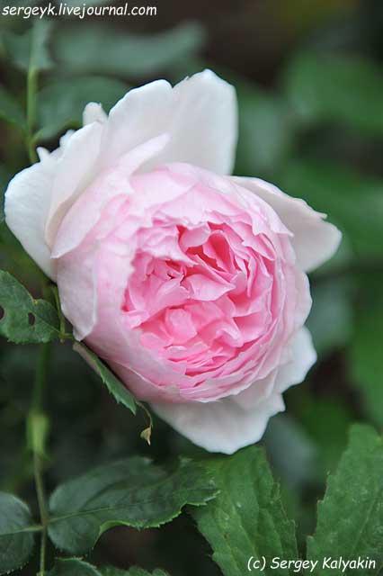 Rosa The Wedgwood Rose (17).JPG