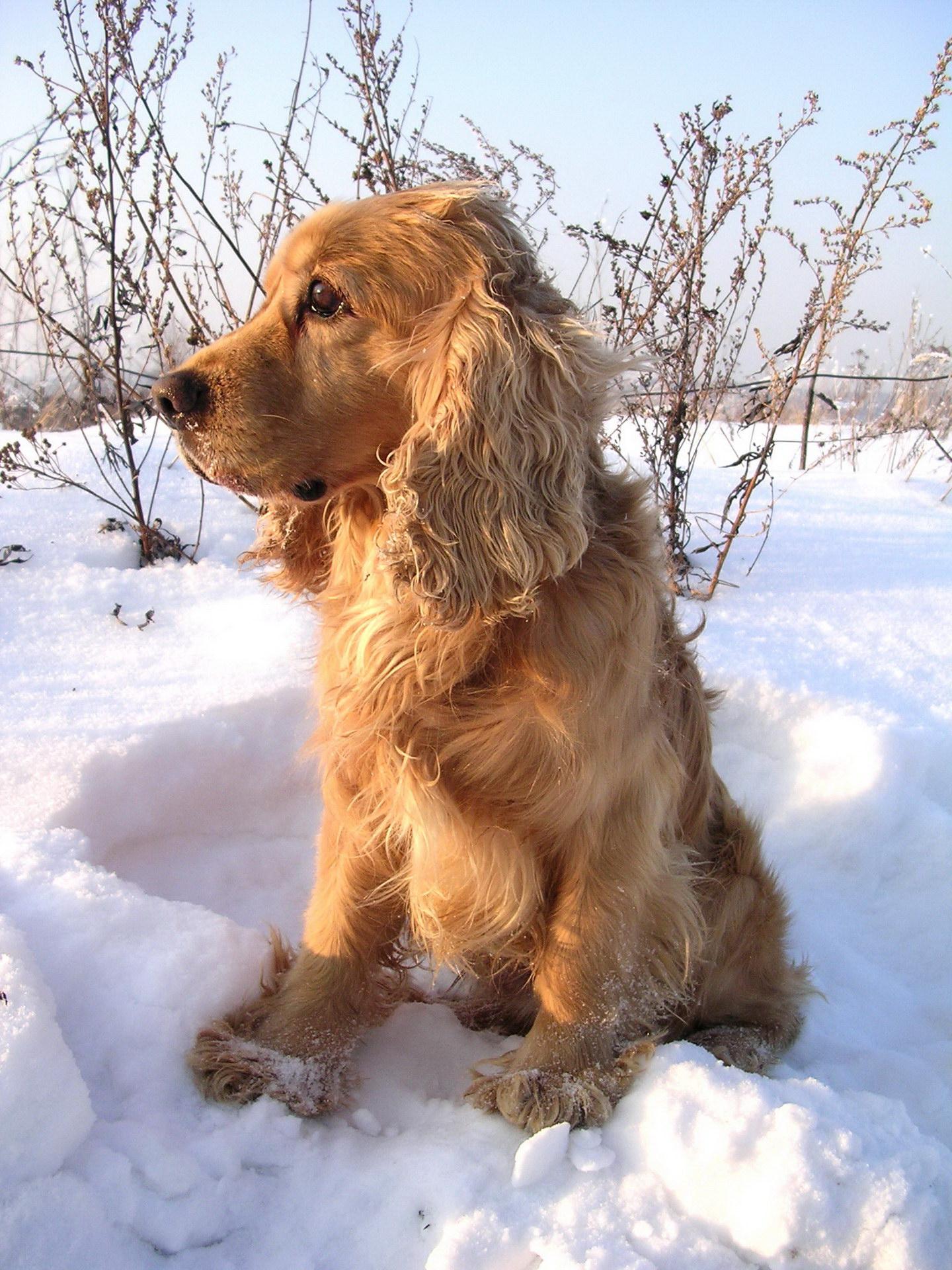Спанієль в снігу