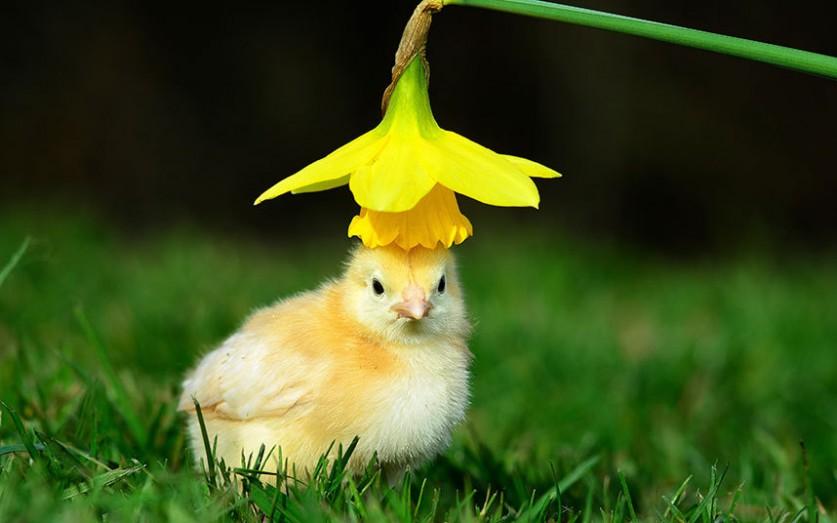 Цыплёнок, вылупившийся на ферме West Lodge Farm Park в графстве Нортгемптоншир в Великобритании, буд