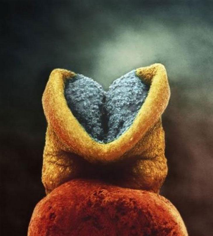 На 18-й день у зародыша начинает пульсировать сердце