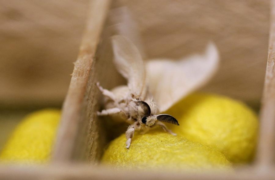 2. Бабочка тутовый шелкопряд и коконы. Из одного из них она и появилась. (Фото Alessandro Bianchi |