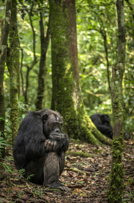 6. Усталый и задумчивый шимпанзе в лесах Уганды.