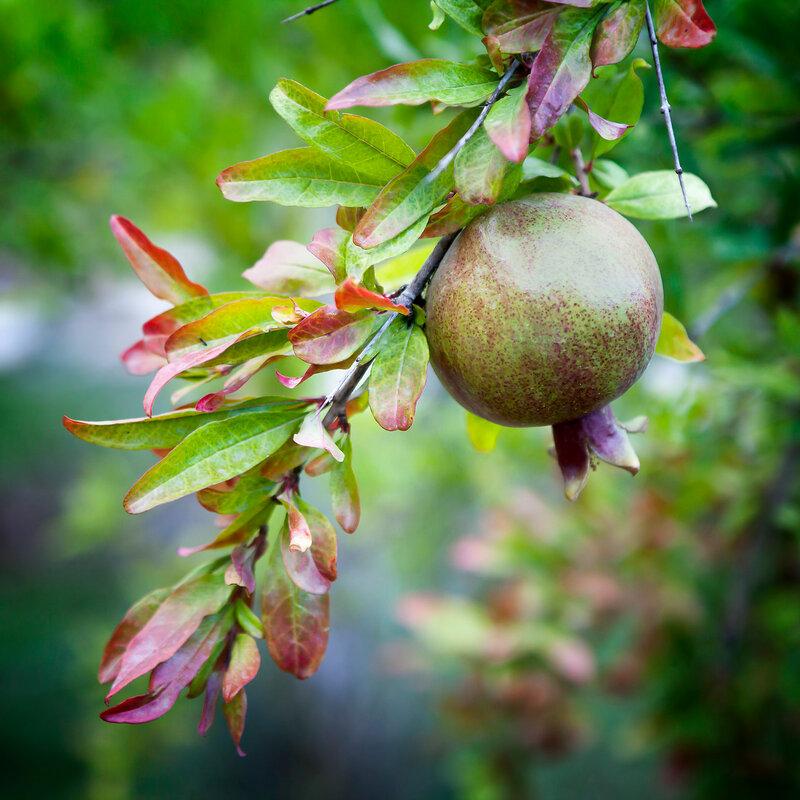 pomegranate fruit on tree branch