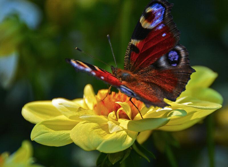 Бабочка уходящего лета