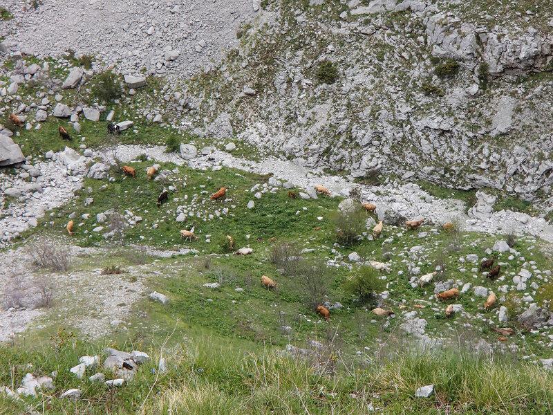 коровы пасутся в ущелье Мегас Лаккос (Megas Lakkos)