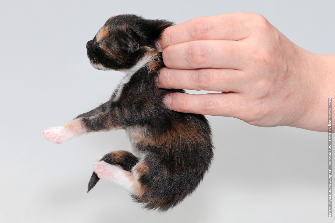 фото котенок мейнкун