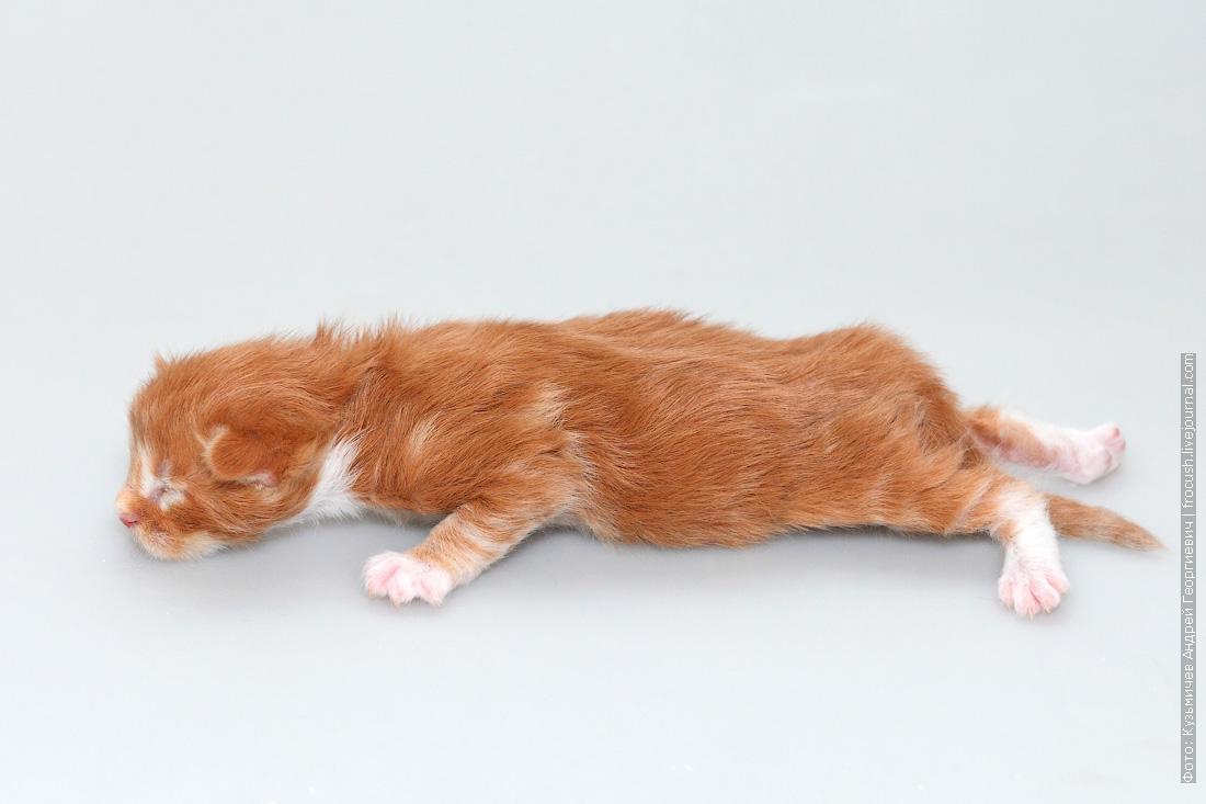 котенок мейнкун питомник