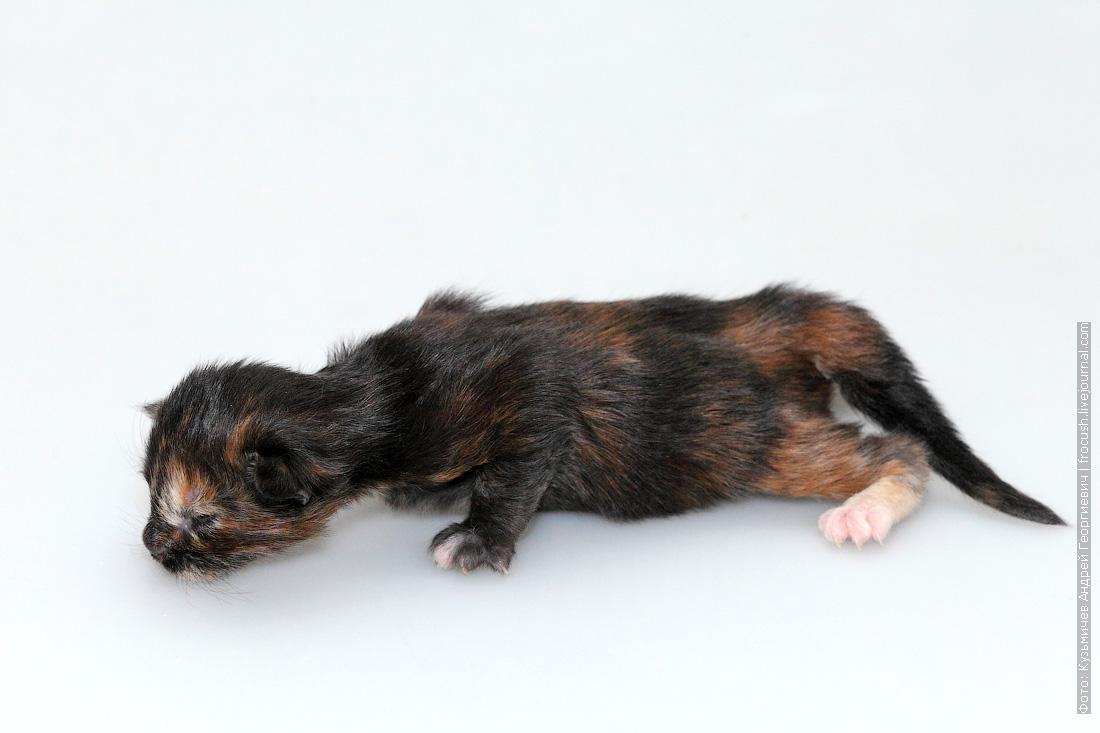 котенок мейн кун одна неделя фото