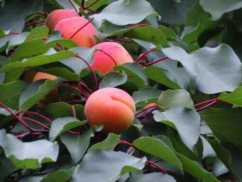 Созрели абрикосы...