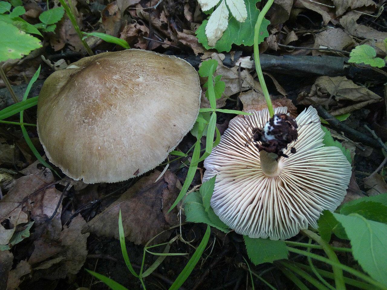 Коллибия широкопластинчатая (Megacollybia platyphylla). Автор фото: Привалова Марина