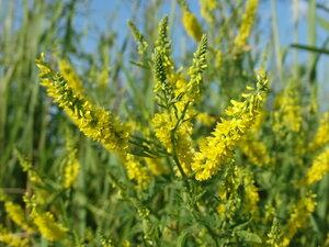 s:травянистые,i:двулетние,c:желтые,околоцветник зигоморфный,соцветия - кисть