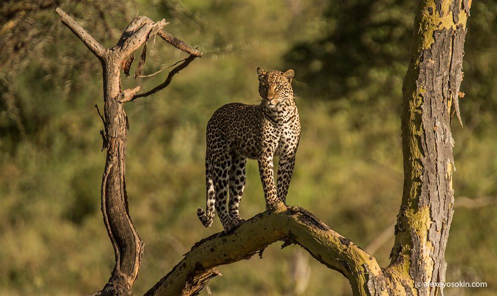 5. По силе укуса леопард — самая сильная кошка в Африке — по разным данным от 100 до 125 атмосф