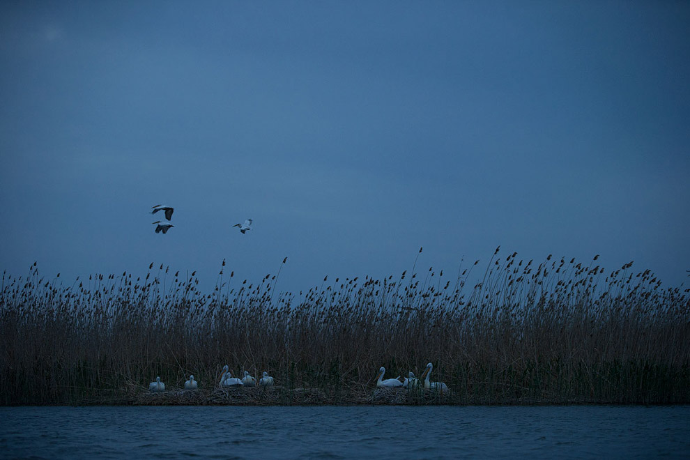 9. Проснулся, пересчитал своих пеликанов — все так-же, девять птеродактилей передо мной. А всег
