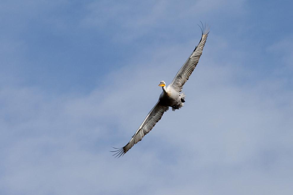 Прошел месяц… Несколько дней назад, 25 мая я вновь попал на свидание к своим пеликанам. То что