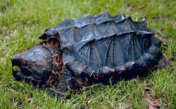 15. 11 место – Каймановая черепаха, PSI: 1000 Сила укуса каймановой черепахи достигает 1000 PSI.