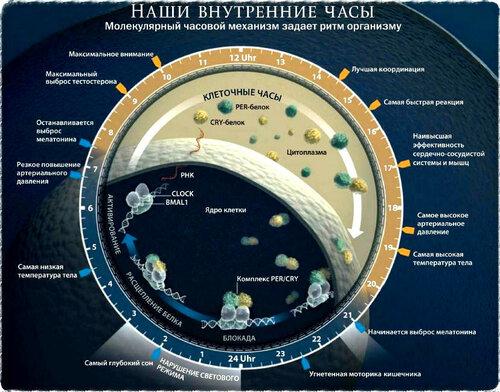 биологические часы в нашем организме por7sfer.ru.jpg