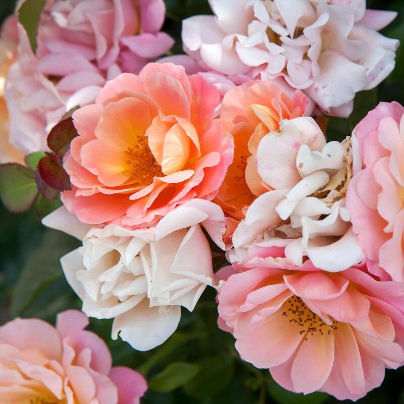 English Rose,Evelyn