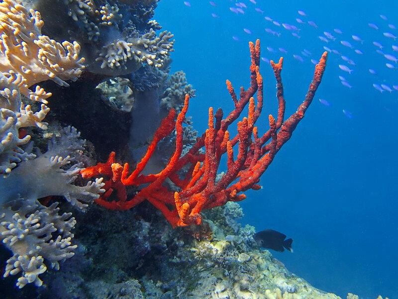 На кромке рифа...  (Erect Rope Sponge)