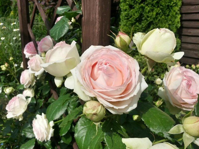 20160526_151927_роза Pierre de Ronsard.jpg