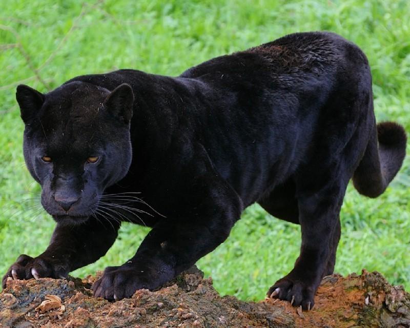 Черный всегда в тренде— красивые фотографии пантер