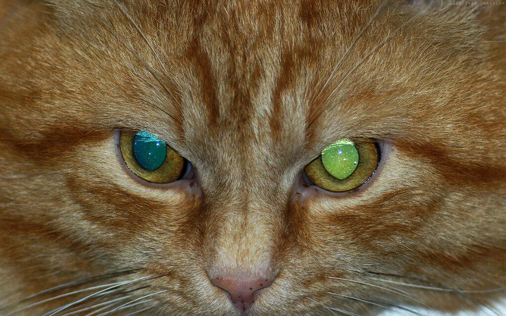 Рудик кот рыжий Rudik cat red Юпитер-21М Jupiter-21M lens Иван Шашлов Ivan Shashlov