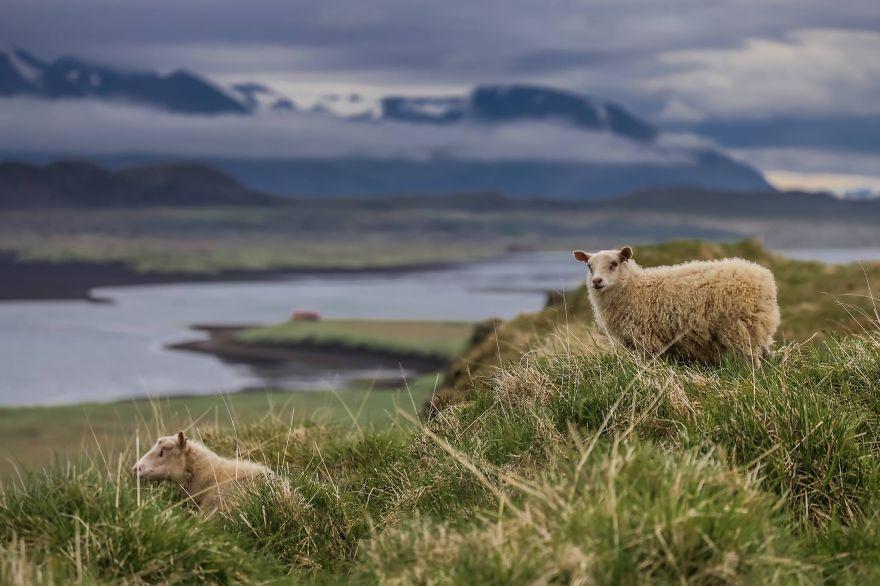 12 Фотографировали диких овец в Исландии