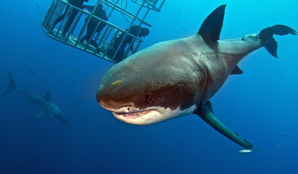 7. Большая белая акула находится на грани исчезновения — на Земле их около 3 500 особей. (Фото