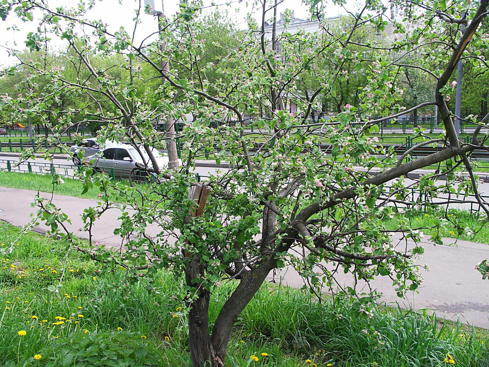 кривая яблонька