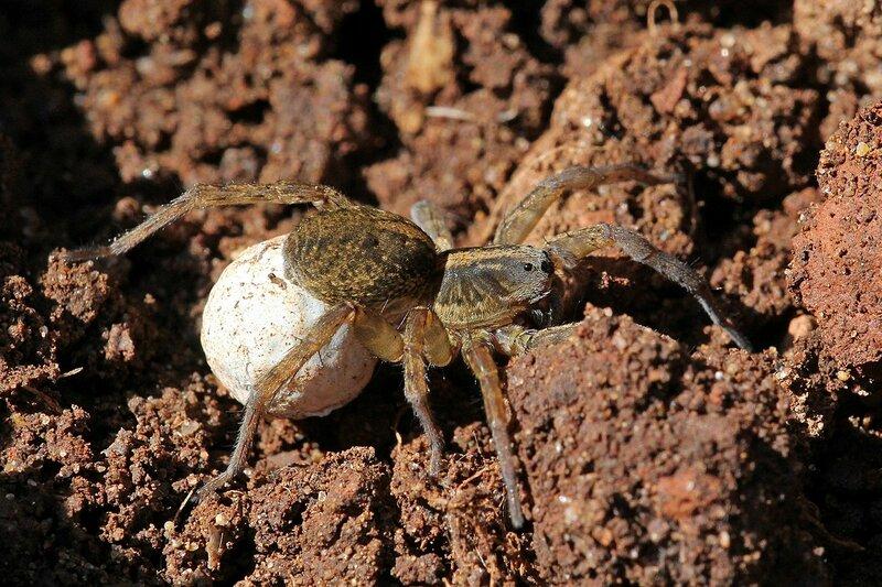 Самка паука-волка (Lycosidae) с белым шарообразным коконом из паутины, прицепленным на конце брюшка