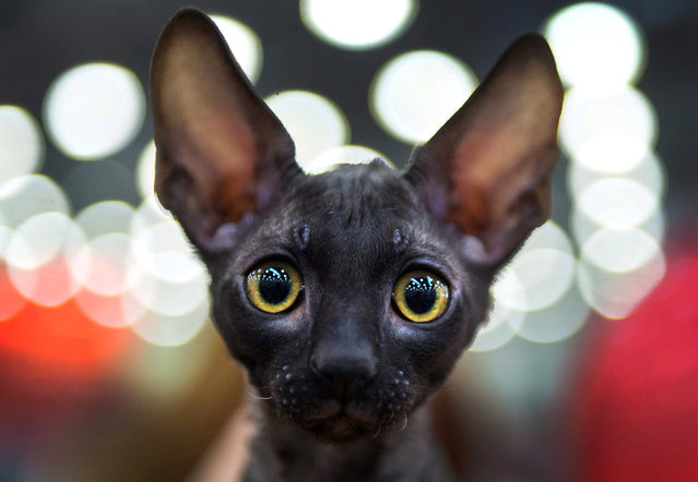 A Cornish Rex breed cat attends the Catsburg 2016 International Cats show in Moscow on March 5, 2016