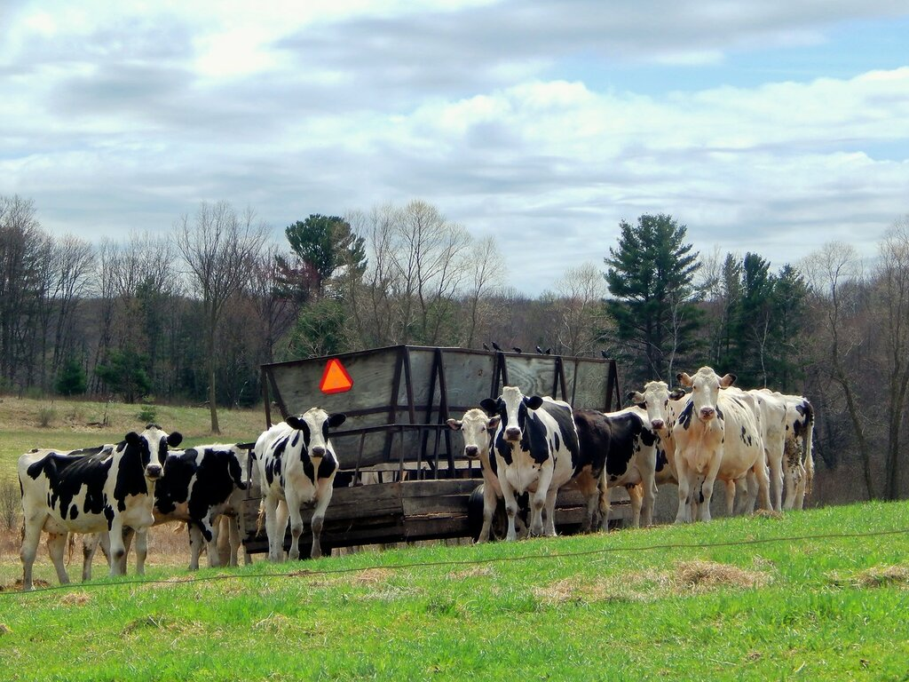Любопытные коровы-2.