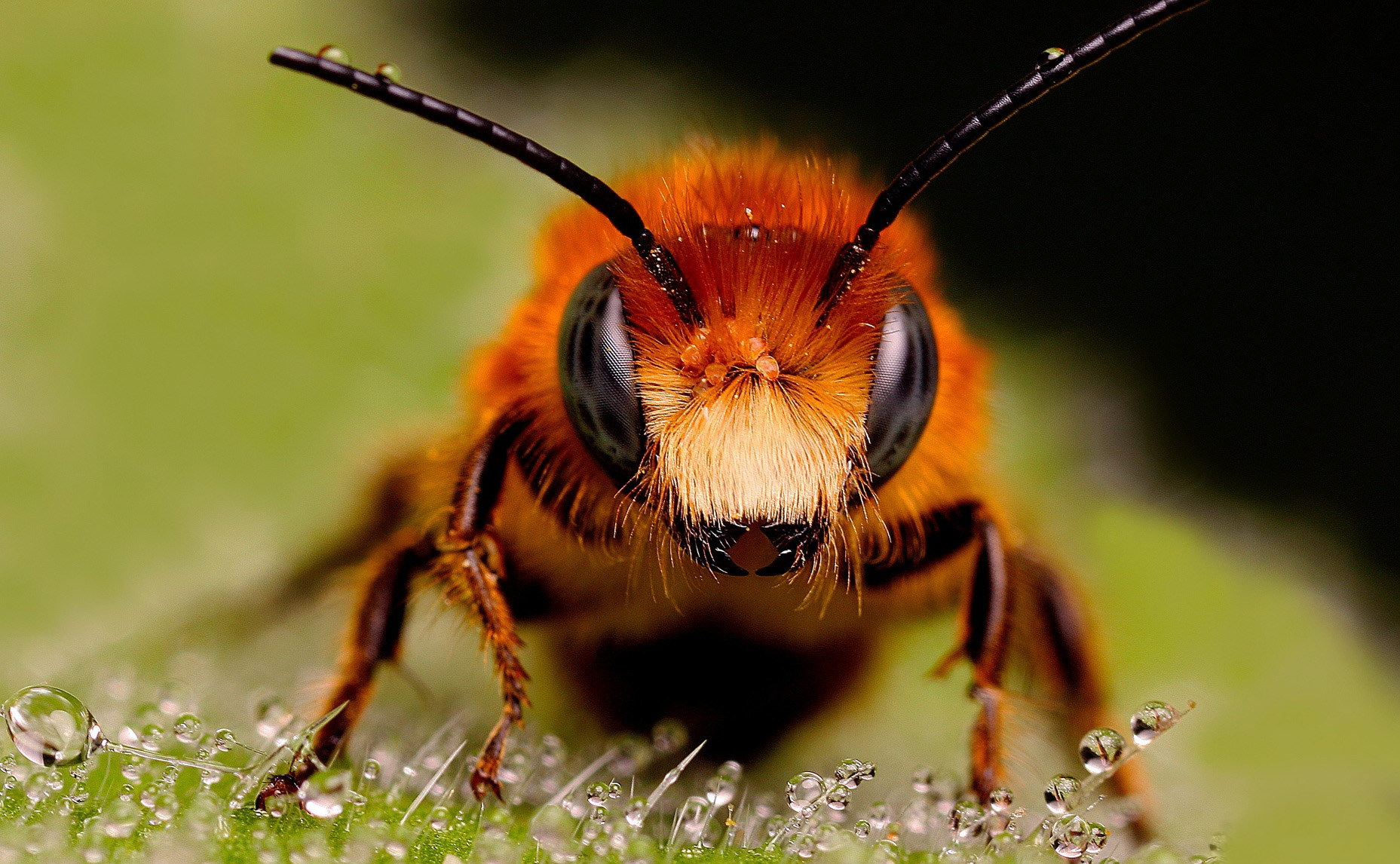 Руда бджілка