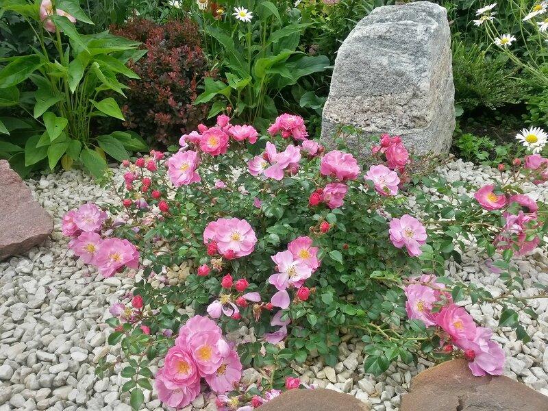 роза Magic Meidiland