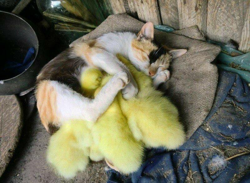 Желтые комочки счастья для трехцветной кошечки.
