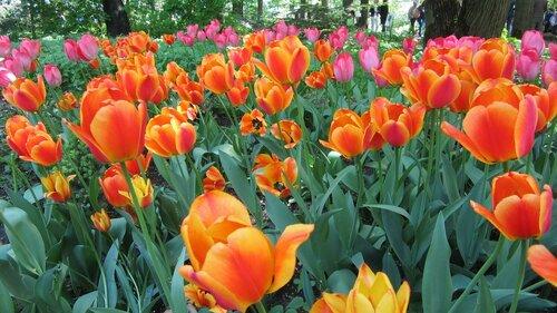 тюльпаны в Ботаническом саду ТвГУ.jpg
