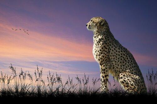 гепард на закате.jpg